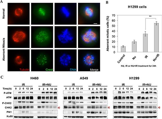 NU7441 + IR-induces mitotic catastrophe in H1299 cells.
