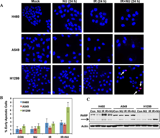 Mitotic catastrophe-related apoptosis was dramatically increased in NU7441 + IR treatment in H1299 cells.