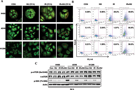 NU7441 + IR-induces autophagic cell death in NSCLC cells.