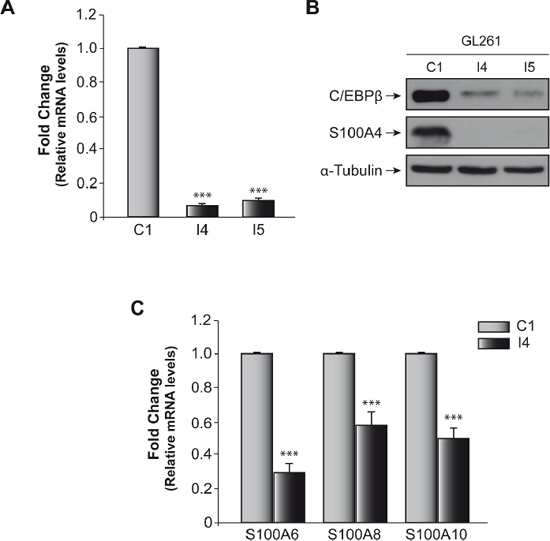 Effect of C/EBPβ on S100A4 expression in glioblastoma murine GL261 cell line.
