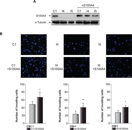 Effect of C/EBPβ and S100A4 on GL261 cells invasion capacity.