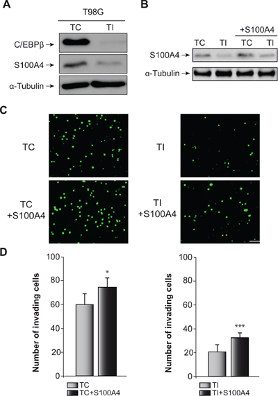 Effect of C/EBPβ and S100A4 on T98G cells invasion capacity.