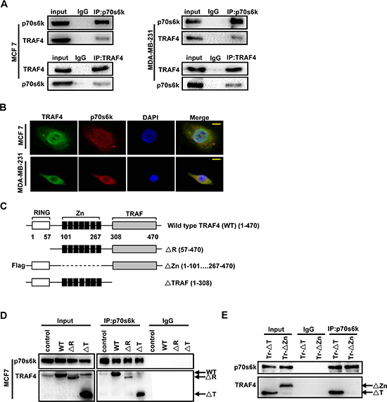 TARF4 interacts with p70s6k through Zinc fingers domain.