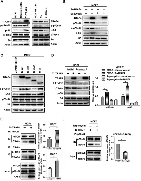 TRAF4 promotes the phosphorylation of p70s6k through enhancing the interaction between mTOR and p70s6k.