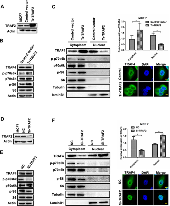 TRAF2 promotes p70s6k/S6 pathway and regulates the distribution of TRAF4.