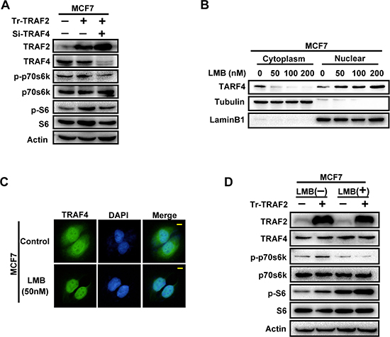 The promoting effect of TRAF2 on p70s6k/S6 pathway is partially through its regulation on cytoplasmic/nuclear distribution of TRAF4.
