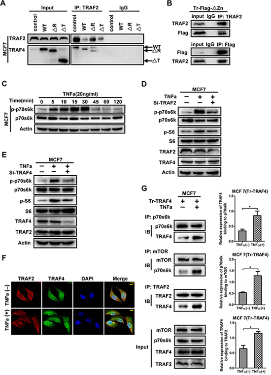 TRAF2 mediates the phosphorylation of p70s6k induced by TNFa, with the participation of TRAF4.