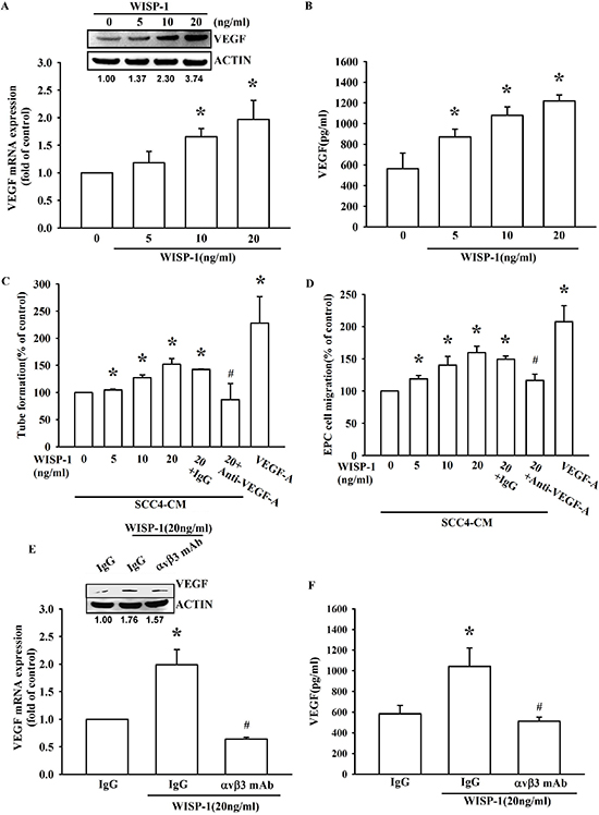 WISP-1 regulates the angiogenesis by raising VEGF-A expression in OSCC cells.