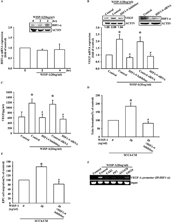 WISP-1 promotes VEGF-A expression in OSCC and contributing to angiogenesis through the HIF1-α signaling pathway.