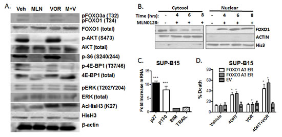 MLN0128 induces dephosphorylation and nuclear translocation of FOXO factors (A) Lysates from SUP-B15 cells treated for the indicated times with vehicle alone, MLN0128 (100 nM), vorinostat (500 nM), or the combination (M + V).