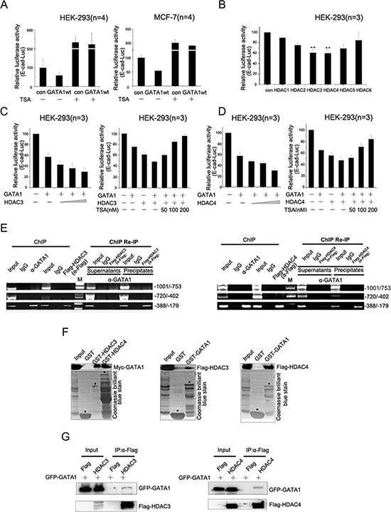 GATA1 recruits HDAC3/4 to down-regulate E-cadherin transcription.