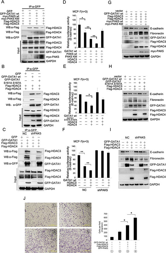 The phosphorylated GATA1 recruits more HDAC3/4 to promote transcriptional repression of E-cadherin.