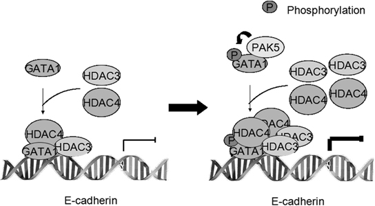Proposed model showing the role of GATA1 and its phosphorylation in repressing E-cadherin transcription.