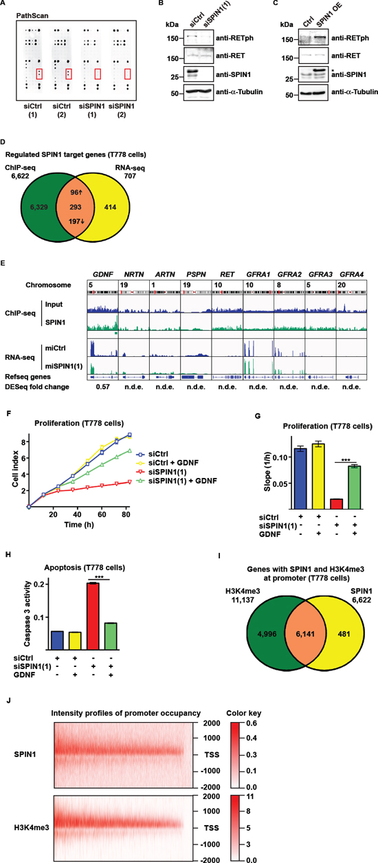 SPIN1 modulates RET signaling by controlling GDNF expression.