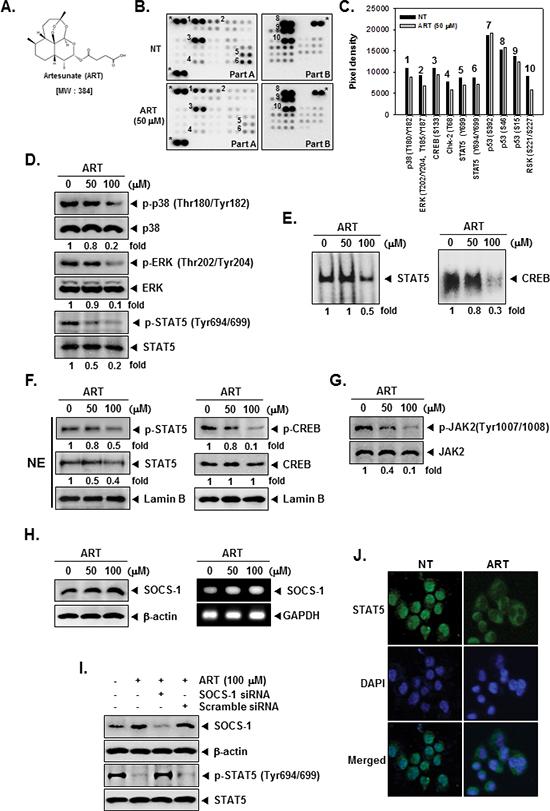 The Human Phospho-Kinase Array detection kit reveals that ART suppresses phosphorylation of p38, ERK, STAT5, and CREB in KBM-5 cells.