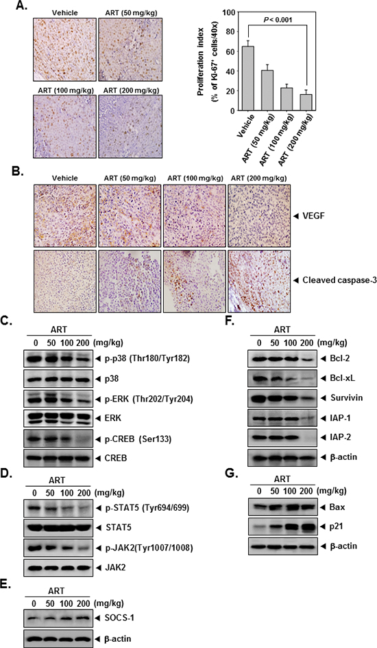 ART exerts the effect against tumor cell proliferation and angiogenesis in myeloid leukemia.