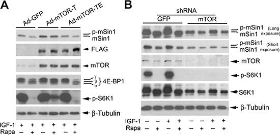 Rapamycin-induced dephosphorylation of mSin1 is dependent on mTOR kinase activity.