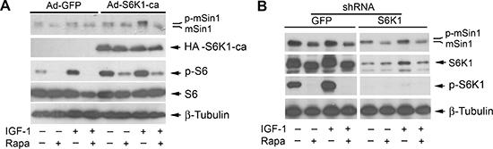 Rapamycin-induced dephosphorylation of mSin1 is not by inhibiting S6K1.