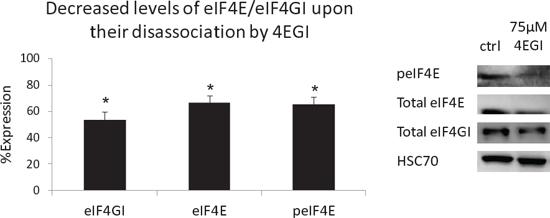 Decreased levels of eIF4E/eIF4GI upon their disassociation by 4EGI.