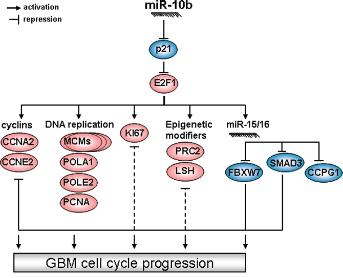 The hierarchy of miR-10b control over glioma cell cycle progression.
