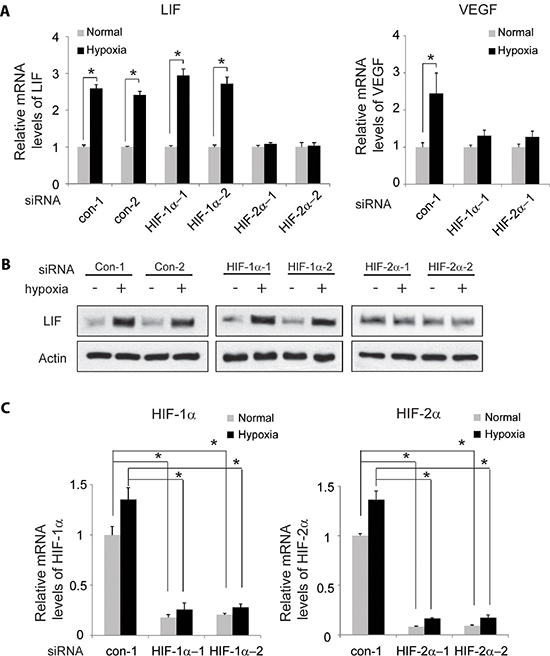 HIF-2α mediates the induction of LIF expression by hypoxia.