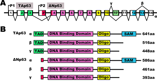 The human p63 splicing isoforms.