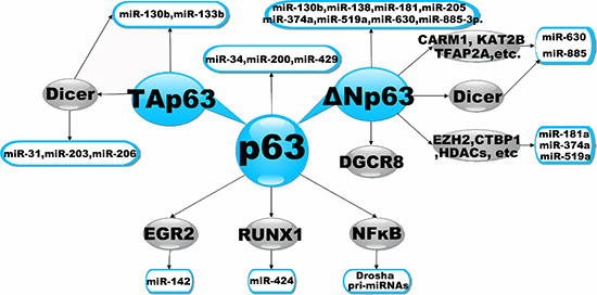 Transcriptional Regulation of miRNAs by p63.