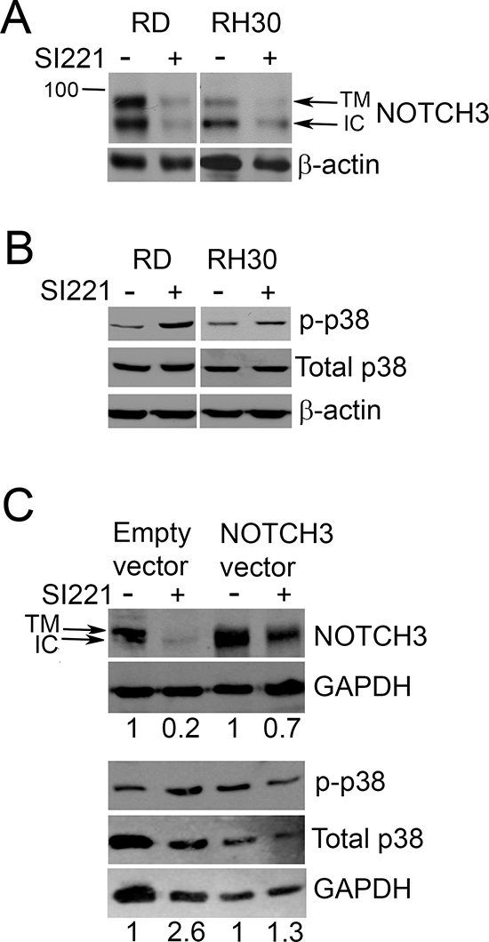 Effect of SI221 on NOTCH3 and p38 MAPK in RMS cell lines.