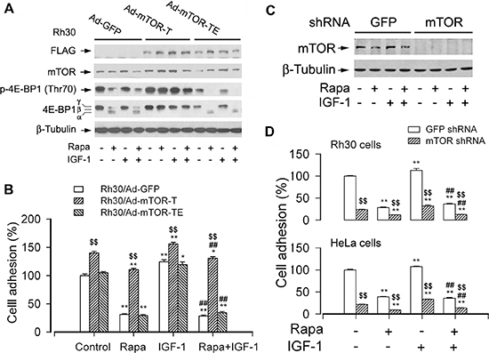mTOR kinase activity is essential for cell adhesion.