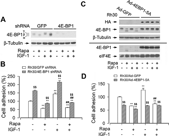 mTORC1-mediated 4E-BP1 pathway is involved in the regulation of cell adhesion.
