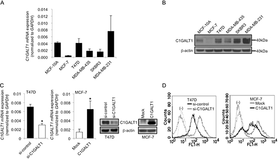 C1GALT1 regulates O-glycan structures on surfaces of breast cancer cells.