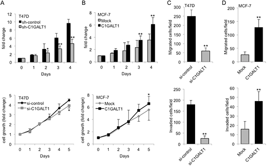 C1GALT1 modulates breast cancer malignant behaviors.