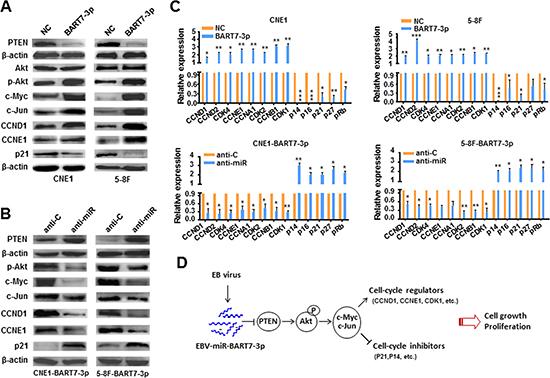 EBV-miR-BART7-3p stimulated PTEN/PI3K/Akt pathway and its downstream signals.