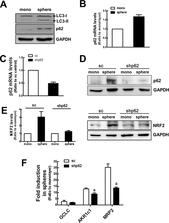 Involvement of p62 in NRF2 activation in mammospheres.