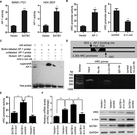 AP-1 is critical for SATB1-mediated HRC expression.