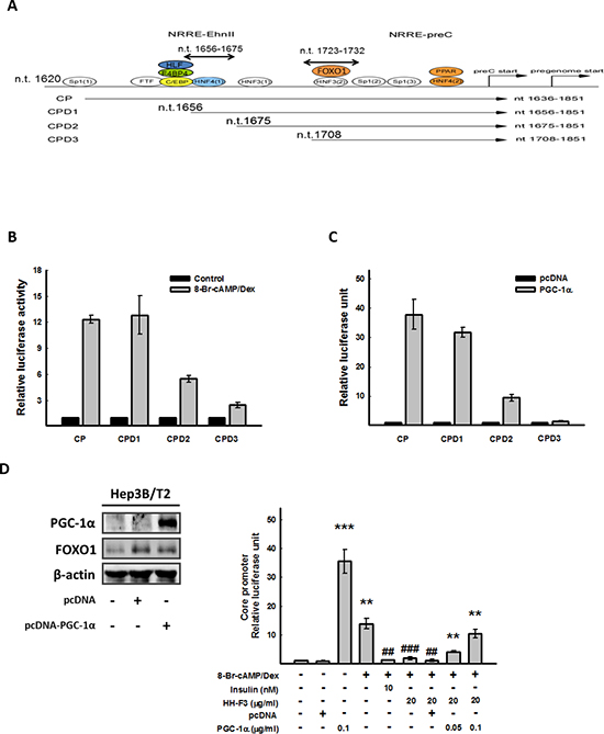 CP (nt 1656–1675) is the cis-element responsible for 8-Br-cAMP/Dex to HBV core promoter activity, and overexpression of PGC-1α can reverse the inhibition of HH-F3 to the core promoter.