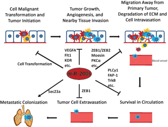 The miR-200s play critical roles in tumor initiation and the metastatic cascade.