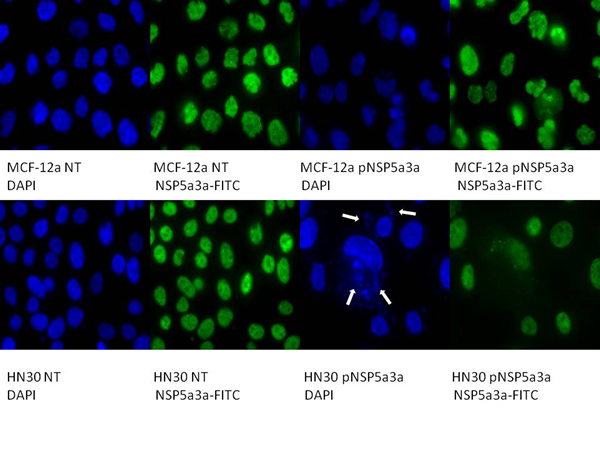 Immunostaining of HN30 and MCF-12a cells for NSP 5a3a 3 days post-transfection.