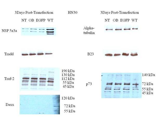 Western Blot analysis of total lysates from asynchronous HN30 cells 3 days post-transfection.