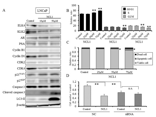 NCL1 treatment induced cell cycle arrest and apoptosis in LNCaP cells.
