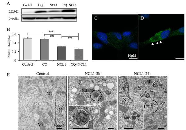 NCL1 treatment induced autophagy in LNCaP.