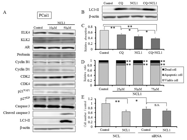 NCL1 treatment induced apoptosis and autophagy in PCai1 cells.