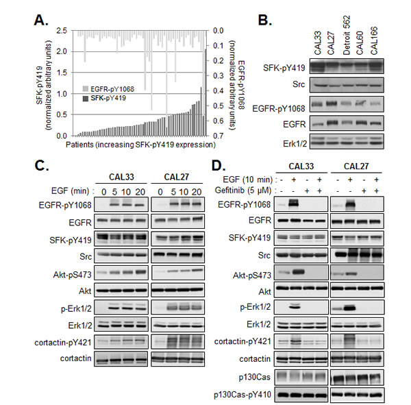 Constitutive activity of SFK is independent of EGFR activation.