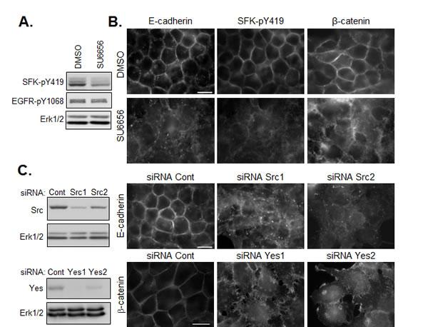 SFKs positively regulate the maintenance of E-cadherin based cell-cell junctions.