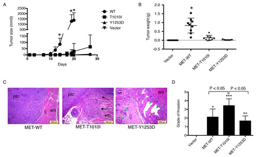 Effects of MET aberrations on MCF-10A xenograft in hHGF transgenic mice.