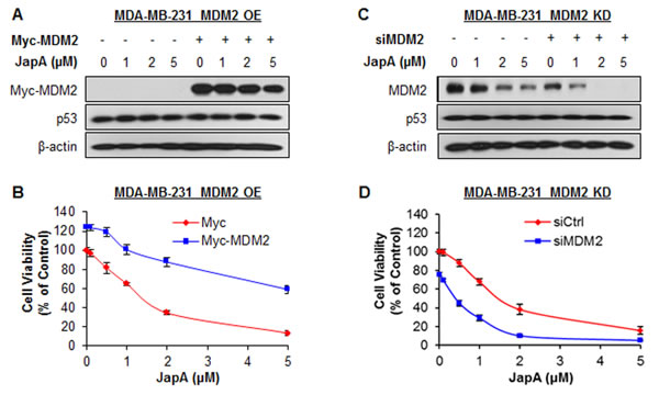 Effects of MDM2 overexpression and knockdown on JapA-induced cell death.