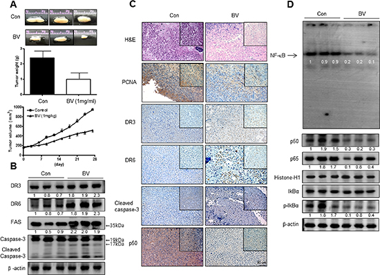 Anti-tumor activity of BV in cervical cancer xenograft.