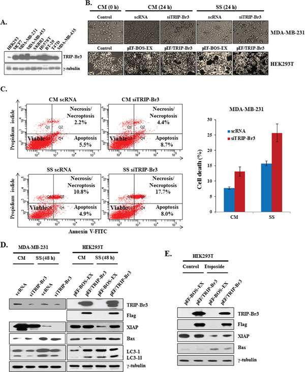 Inhibitory role of TRIP-Br3 in serum depletion induced cell death.