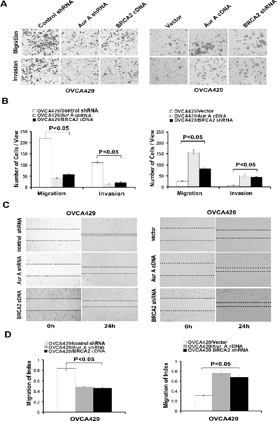 Regulation of cell invasion and migration by Aur A or BRCA2.