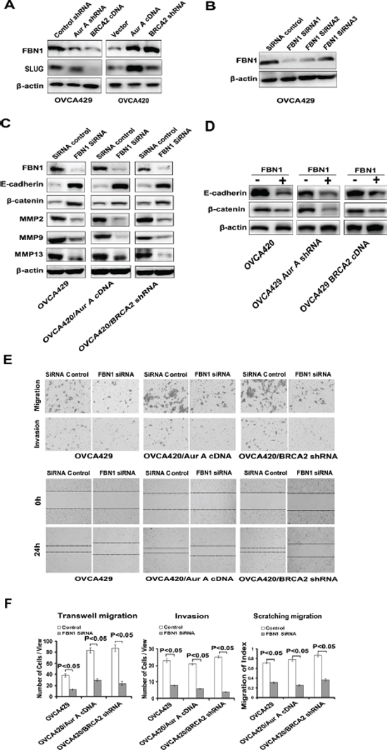 Regulation of cell invasion and migration by FBN1.